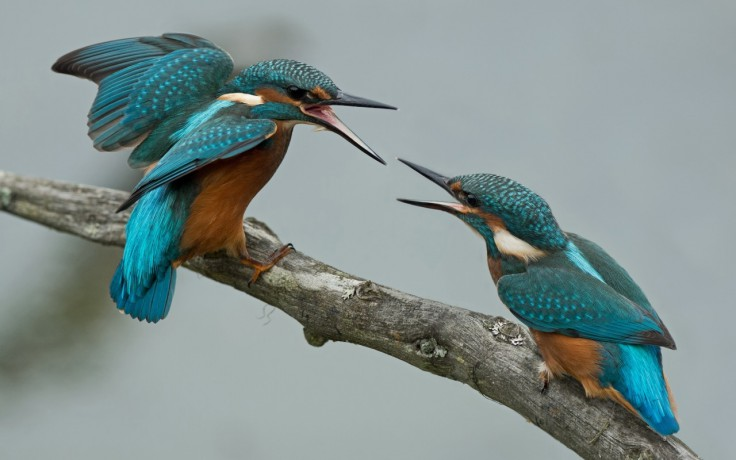 birds-kingfisher-quarrel-branch-birds-free-wallpapers-736×460