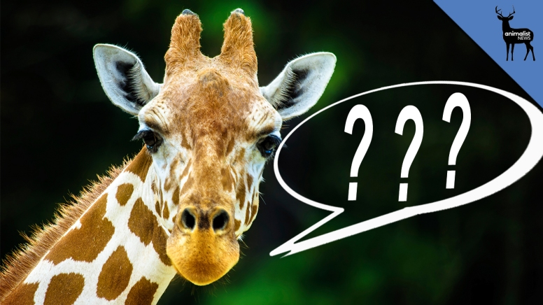 animalistnews-0244-what-does-the-giraffe-say-large-thumb